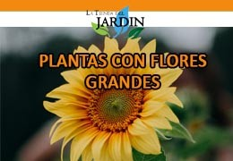 Plants with large flowers, learn about them